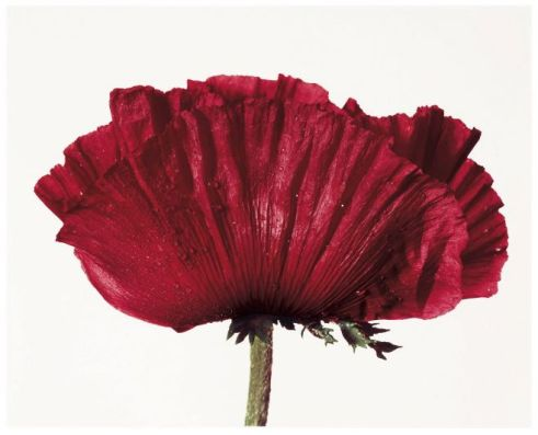 Irving Penn (1968) - Poppy